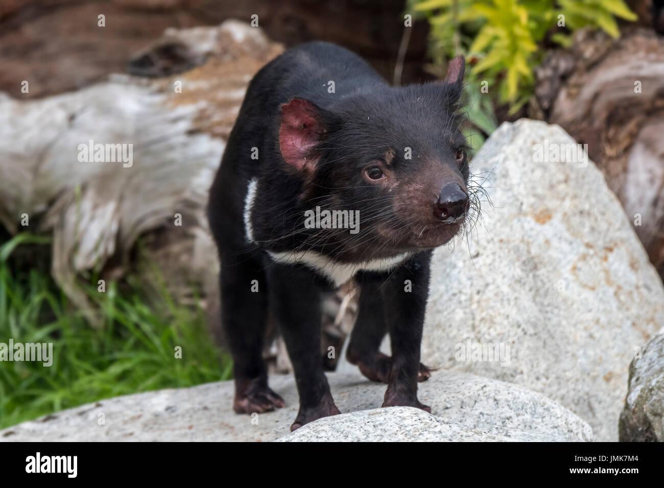 tasmanian-devil-sarcophilus-harrisii-largest-carnivorous-marsupial-JMK7M4.jpg