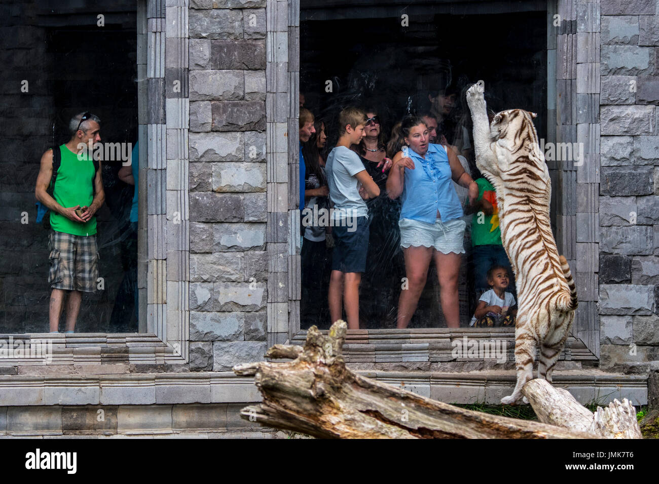 white-tiger-bleached-tiger-panthera-tigris-trying-to-attack-frightened-JMK7T6.jpg
