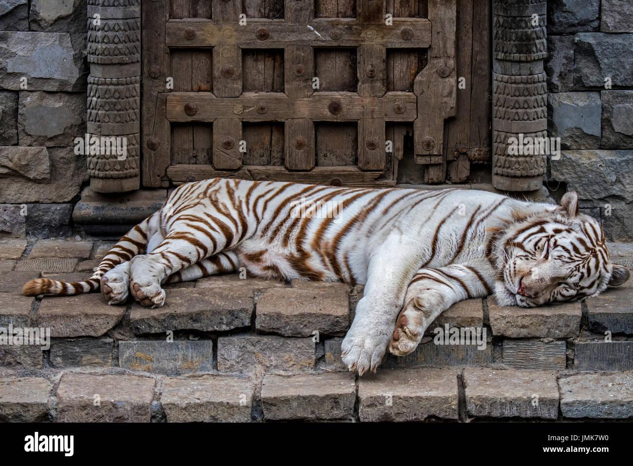 white-tiger-bleached-tiger-panthera-tigris-pigmentation-variant-of-JMK7W0.jpg