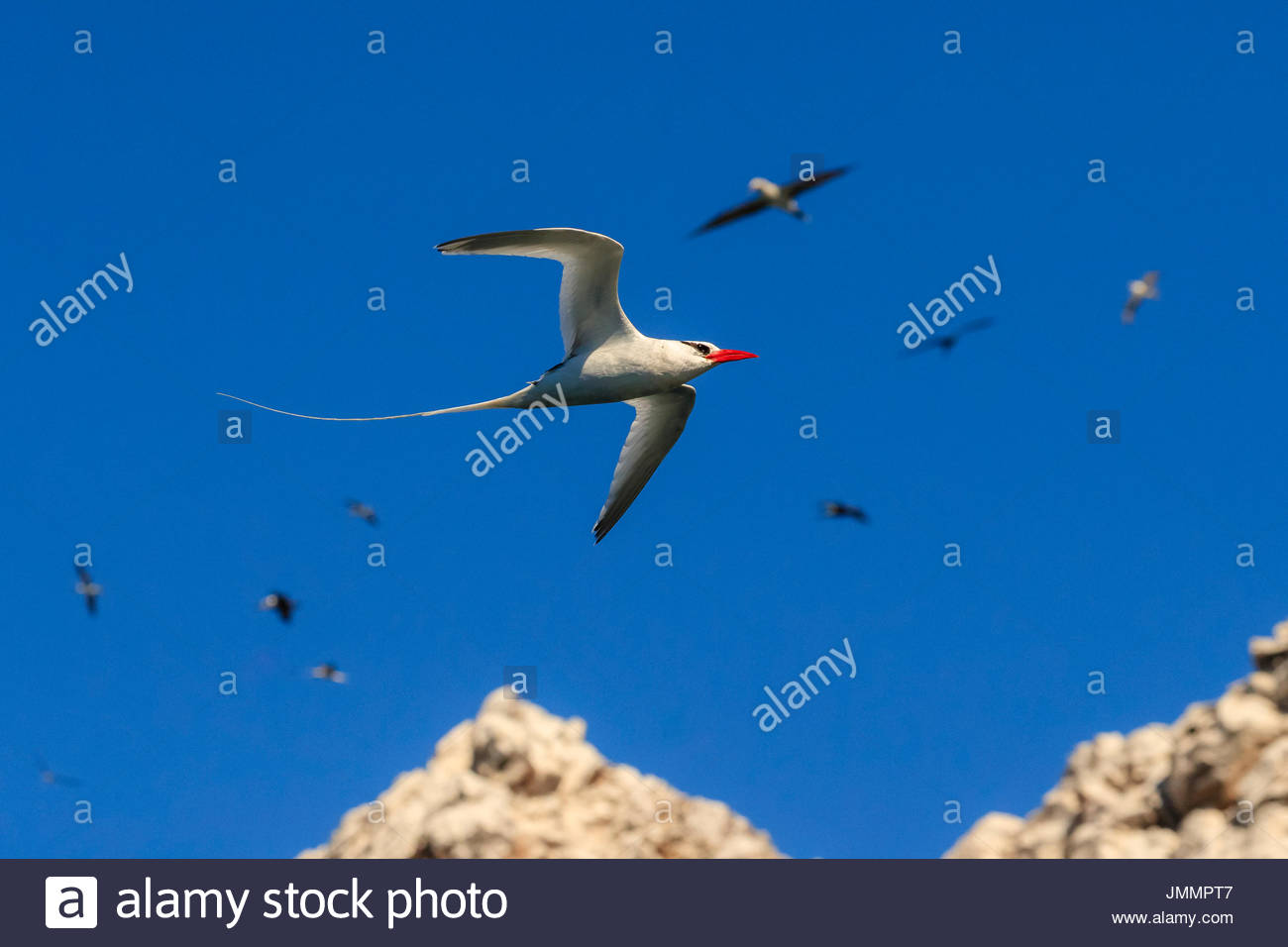 Red-billed tropic bird, Phaethon aethereus, in flight at San Pedro Martir Island. - Stock Image