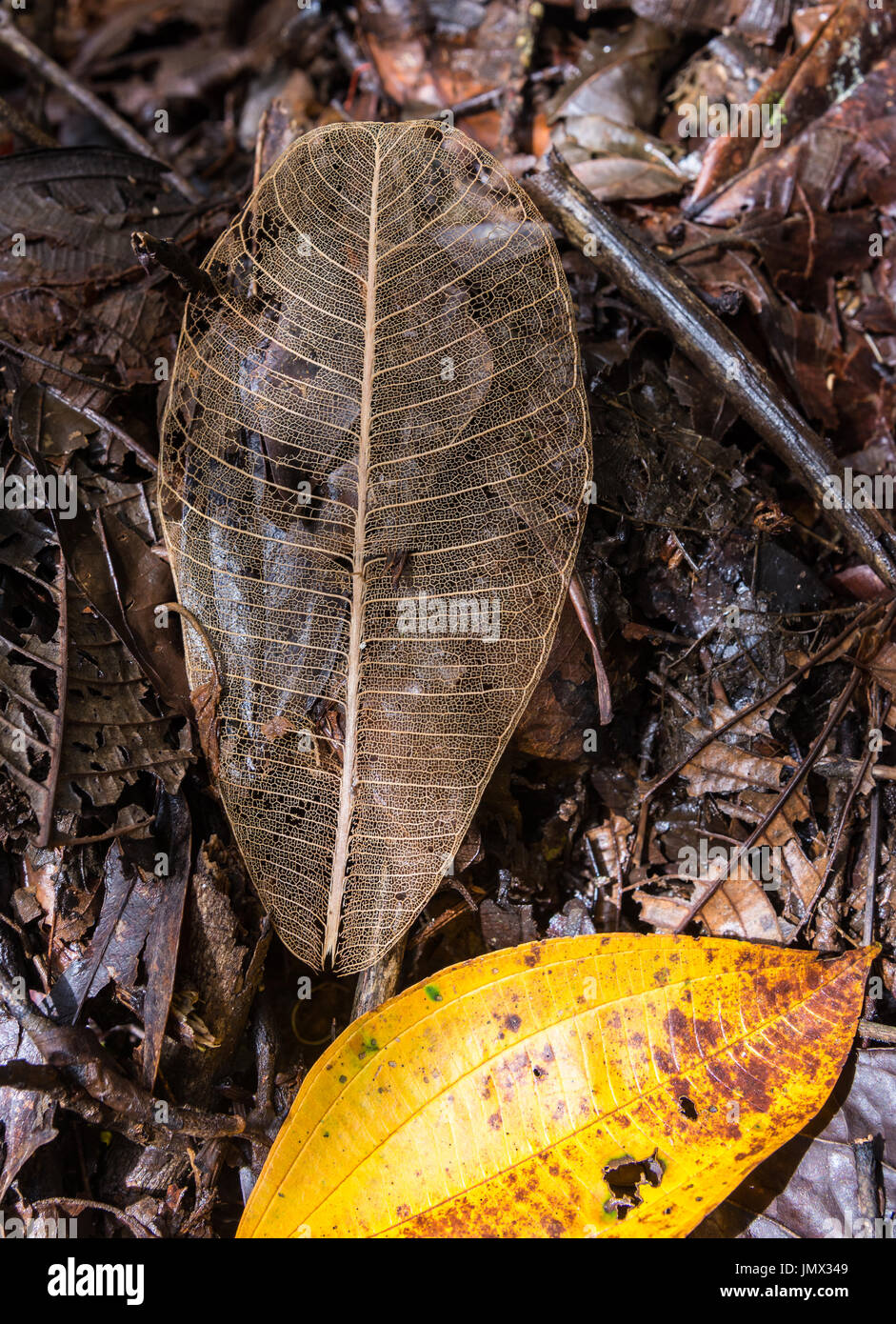 Decayed and about to decay leaves in forest. Colombia, South America. - Stock Image