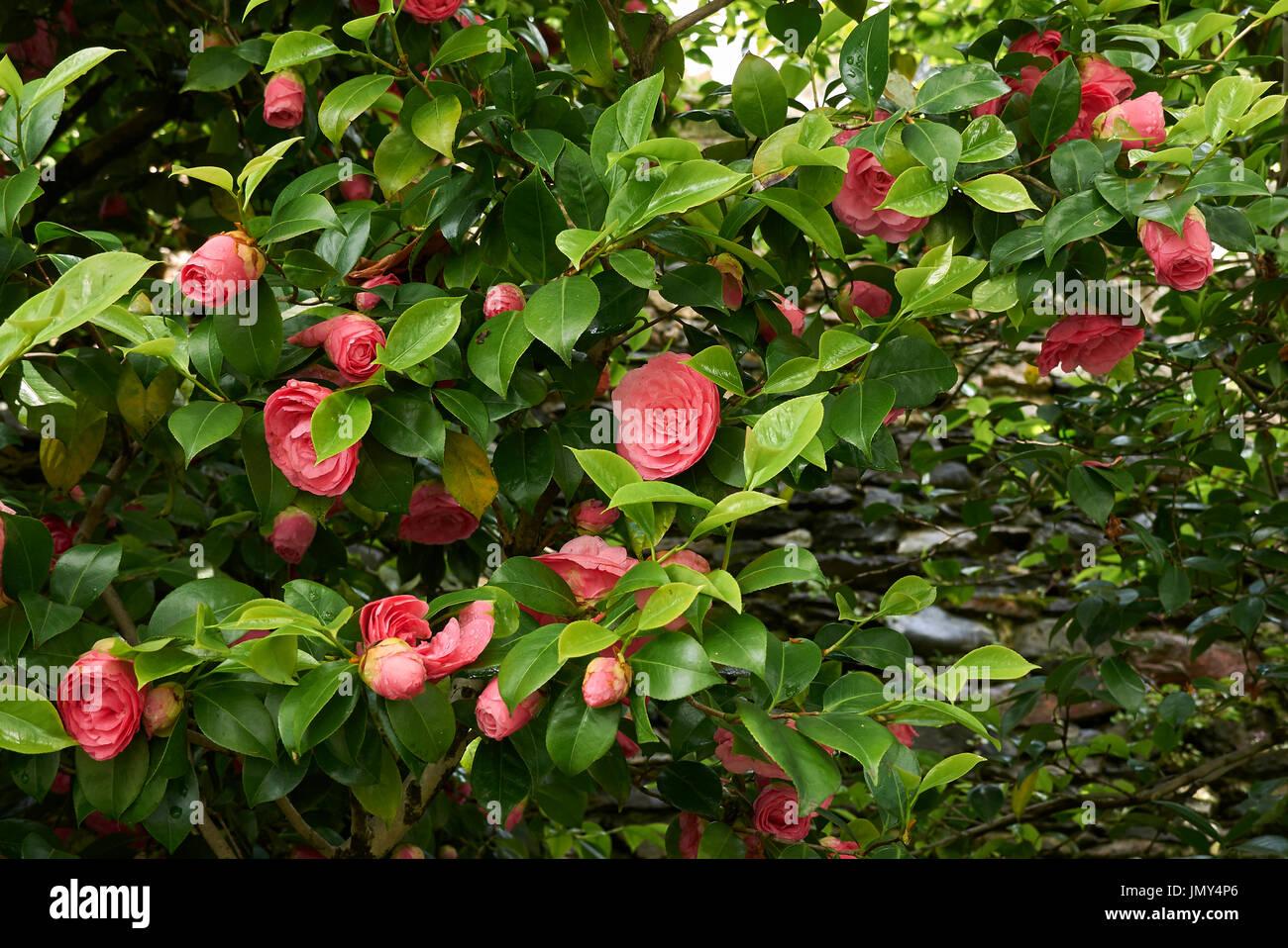 Camellia shrub stock photos camellia shrub stock images - Camelia fotos ...