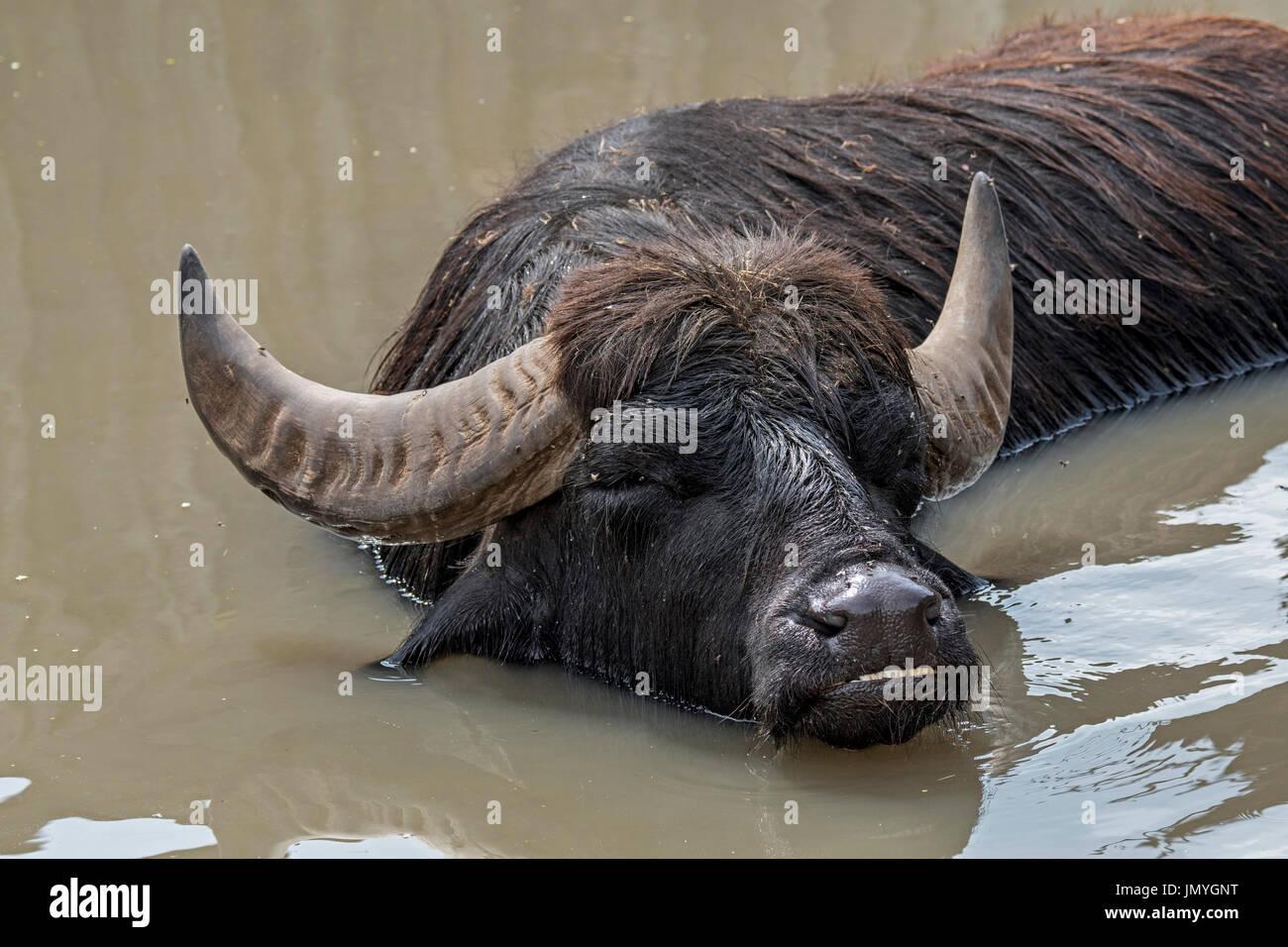 domestic-asian-water-buffalo-bubalus-arnee-bathing-in-river-native-JMYGNT.jpg