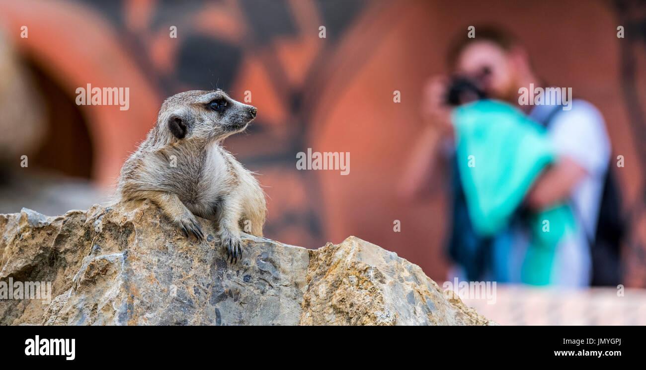 visitor-taking-pictures-with-camera-of-meerkat-suricate-suricata-suricatta-JMYGPJ.jpg