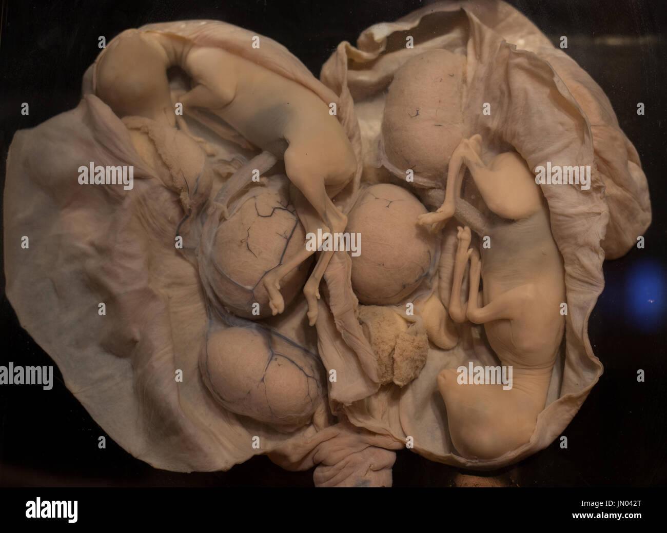 Animal fetus
