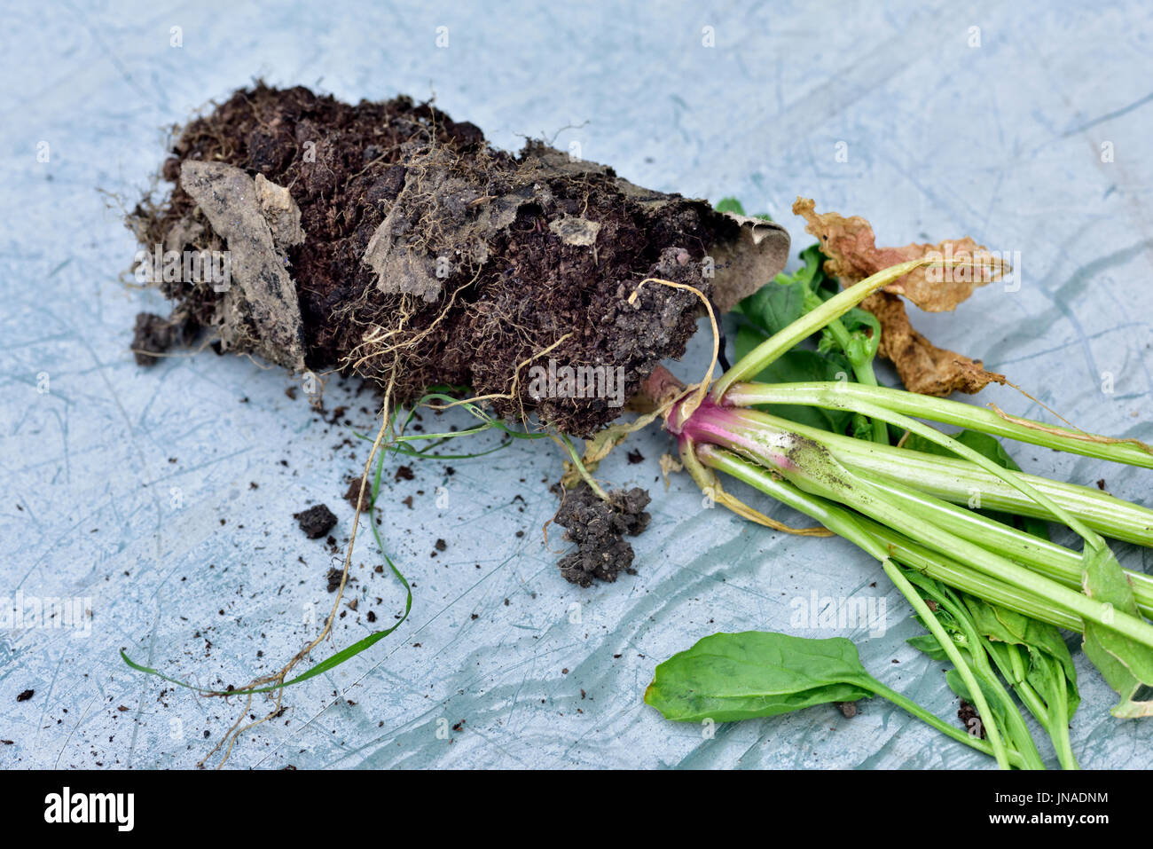 how to fix root bound plants