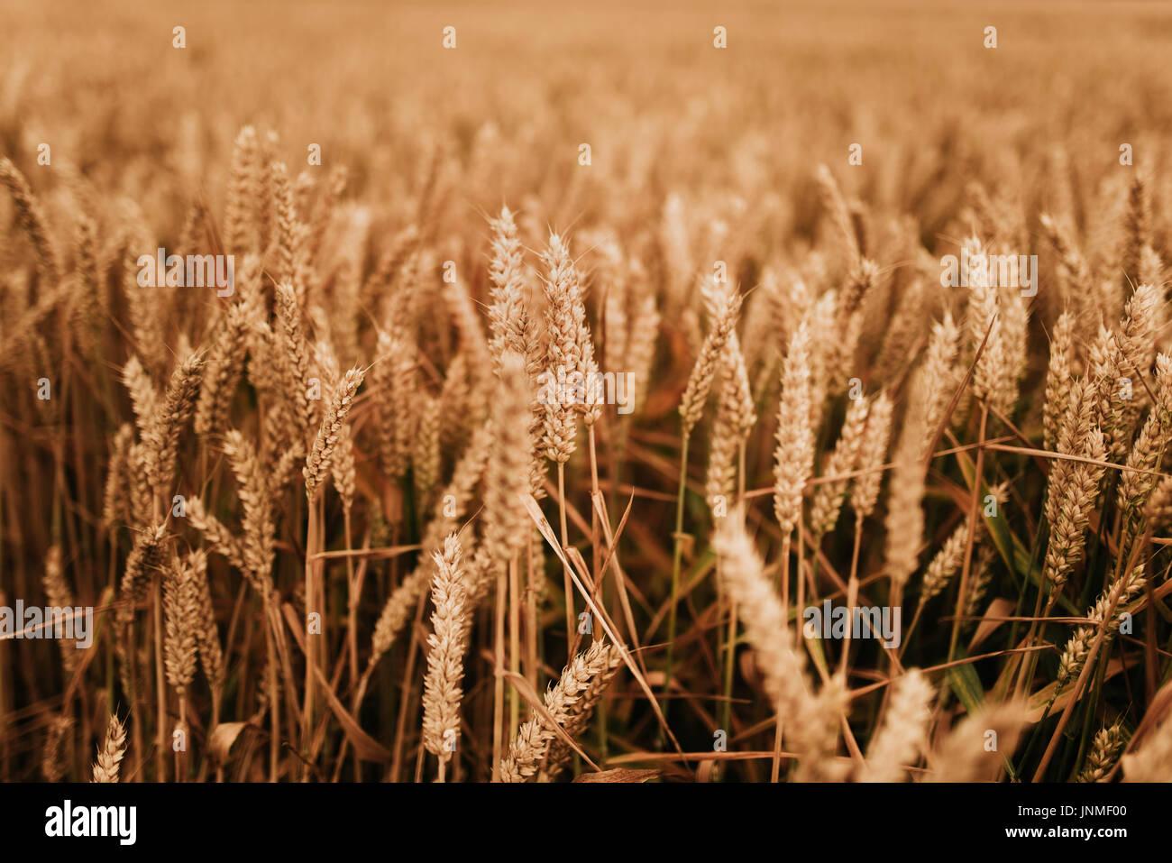 Wheat field detail - Stock Image