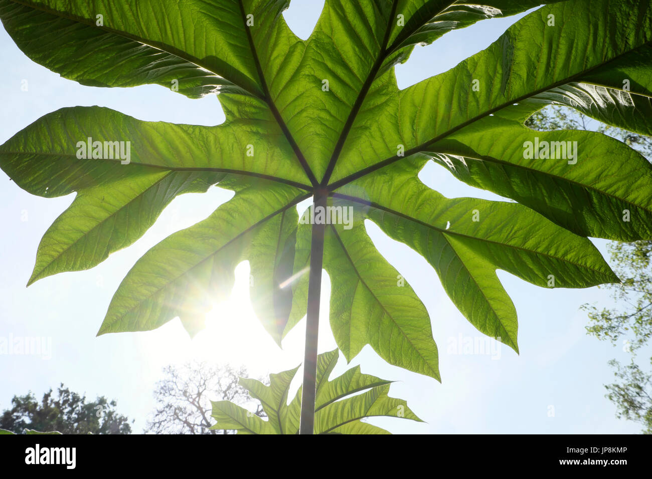 View of underside of a gigantic leaf growing on plant in Holland Park Gardens in West London W11 England United - Stock Image