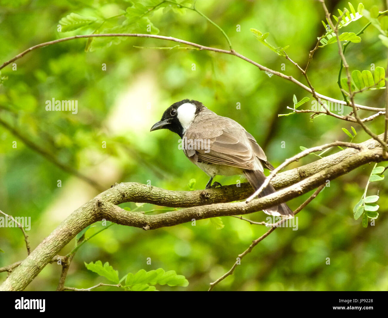 Whiteeared Bulbuls  Beauty of Birds