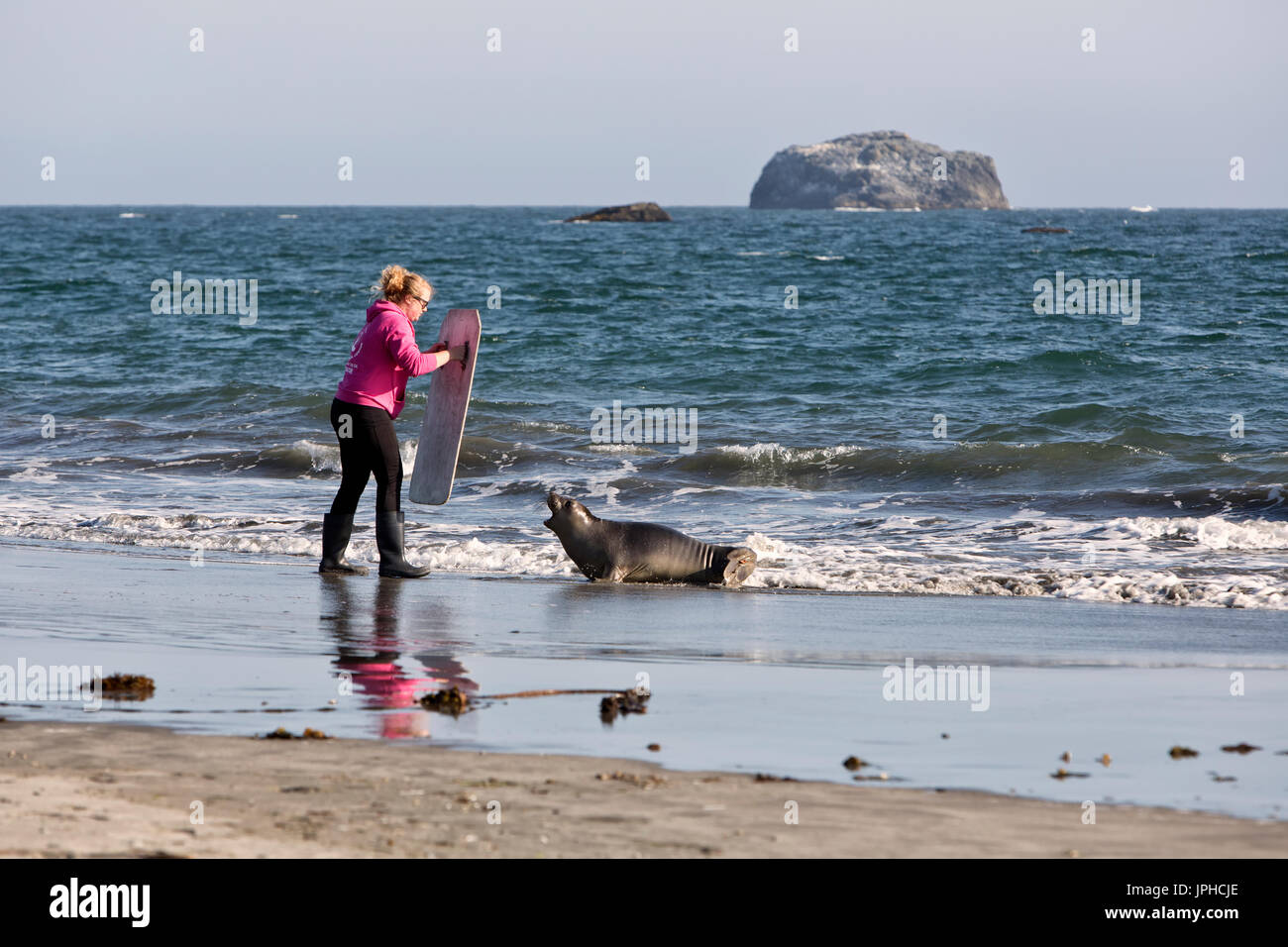 Volunteer attempting to guide released young female Elephant Seal  'Mirounga angustirostris' back into the - Stock Image
