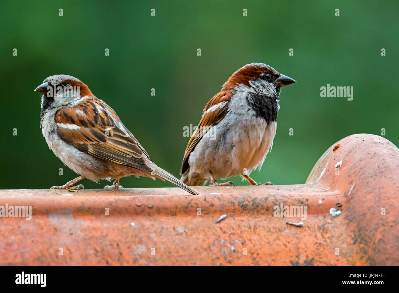 two-male-house-sparrows-passer-domesticus-perched-on-ridge-tile-on-JPJN7H.jpg