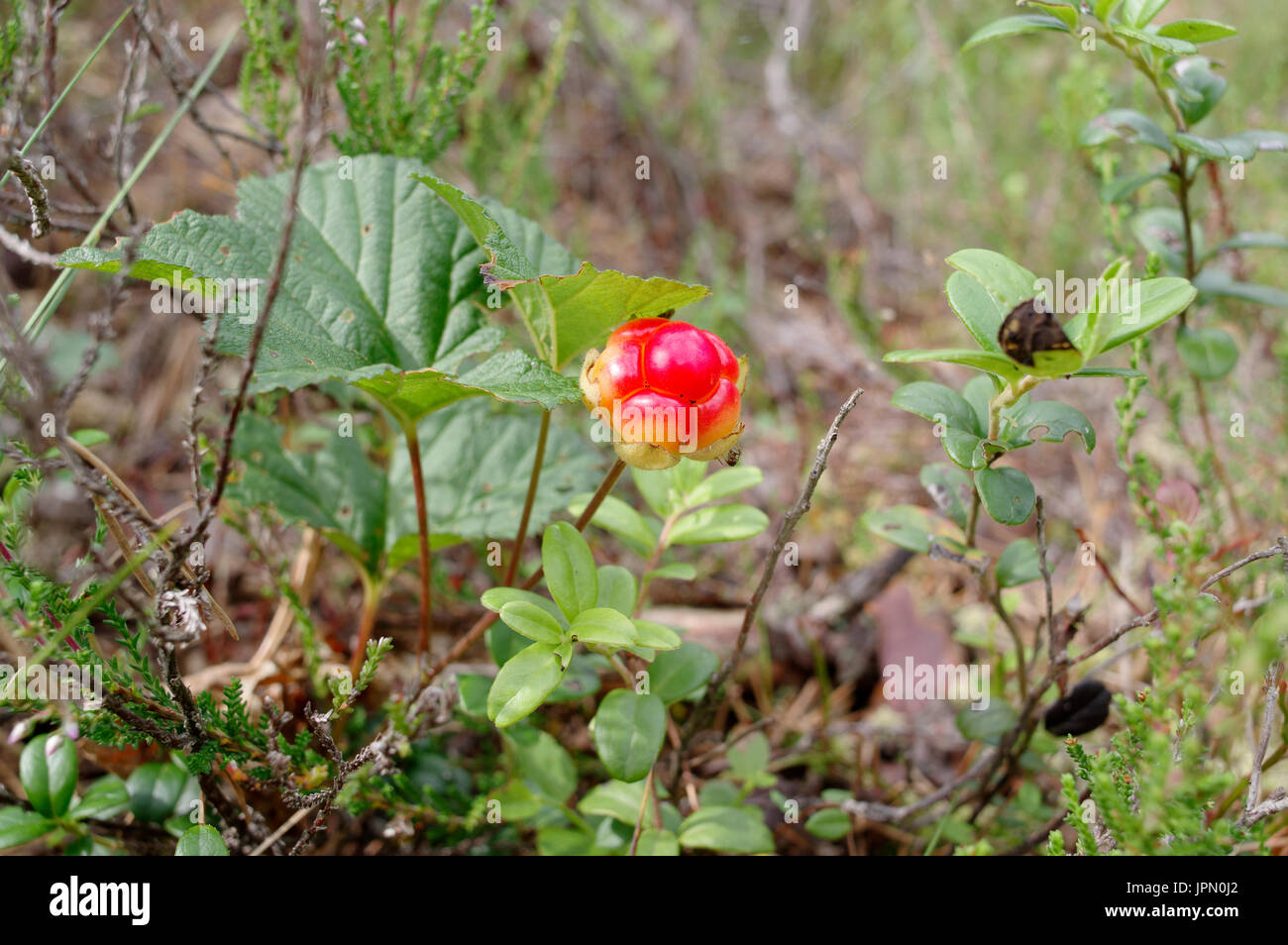 Ripe cloudberry (Rubus chamaemorus L) in Kuresoo, Soomaa, Estonia 29th July 2017 - Stock Image