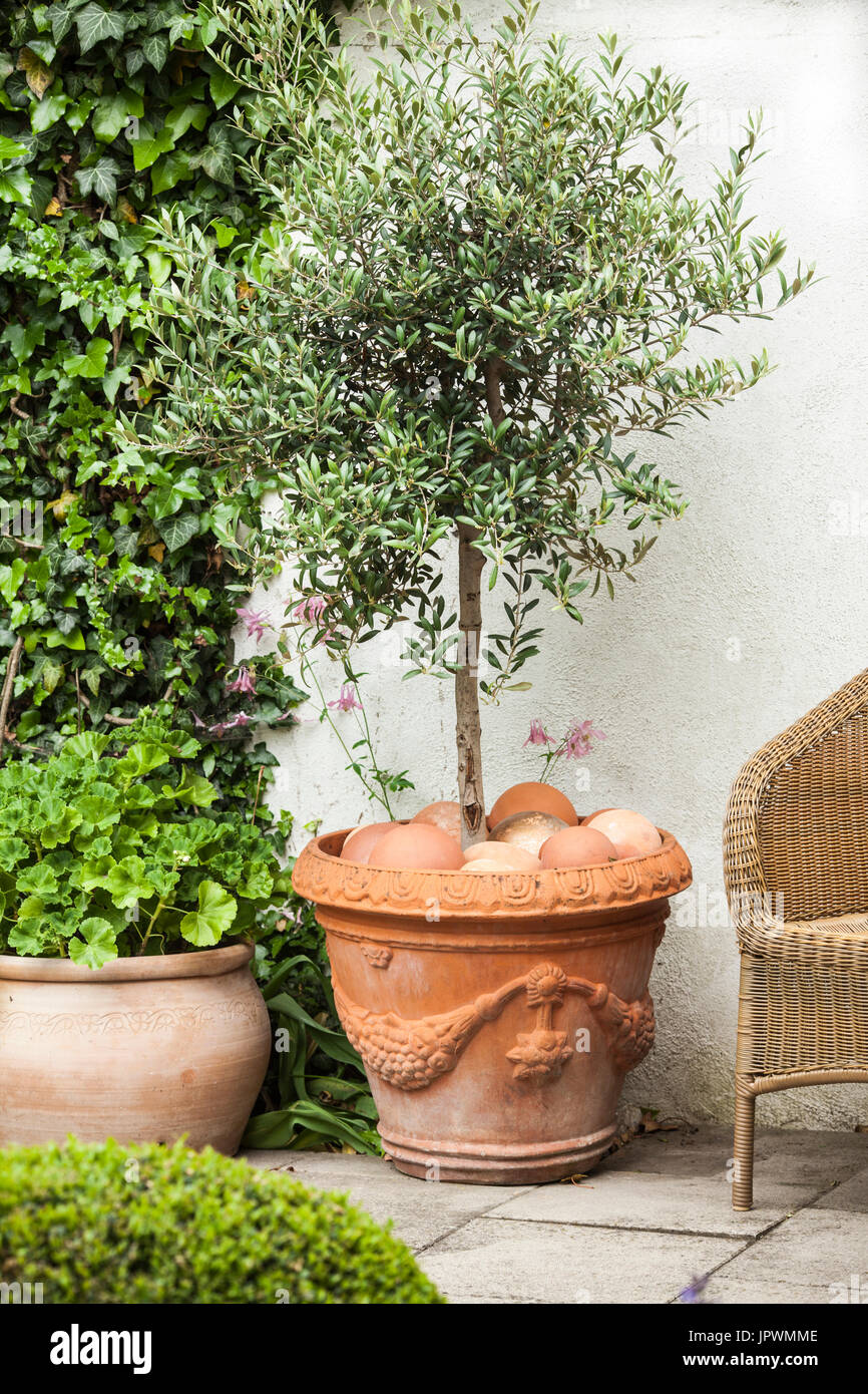 Olive tree potted stock photos olive tree potted stock for Olive trees in pots winter care