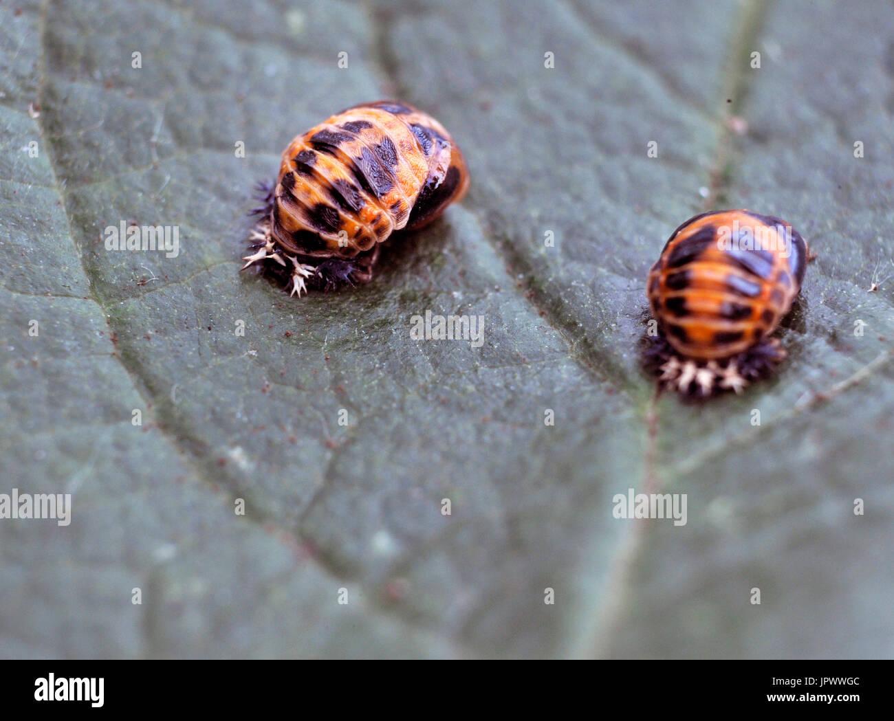 ladybird pupa - Stock Image