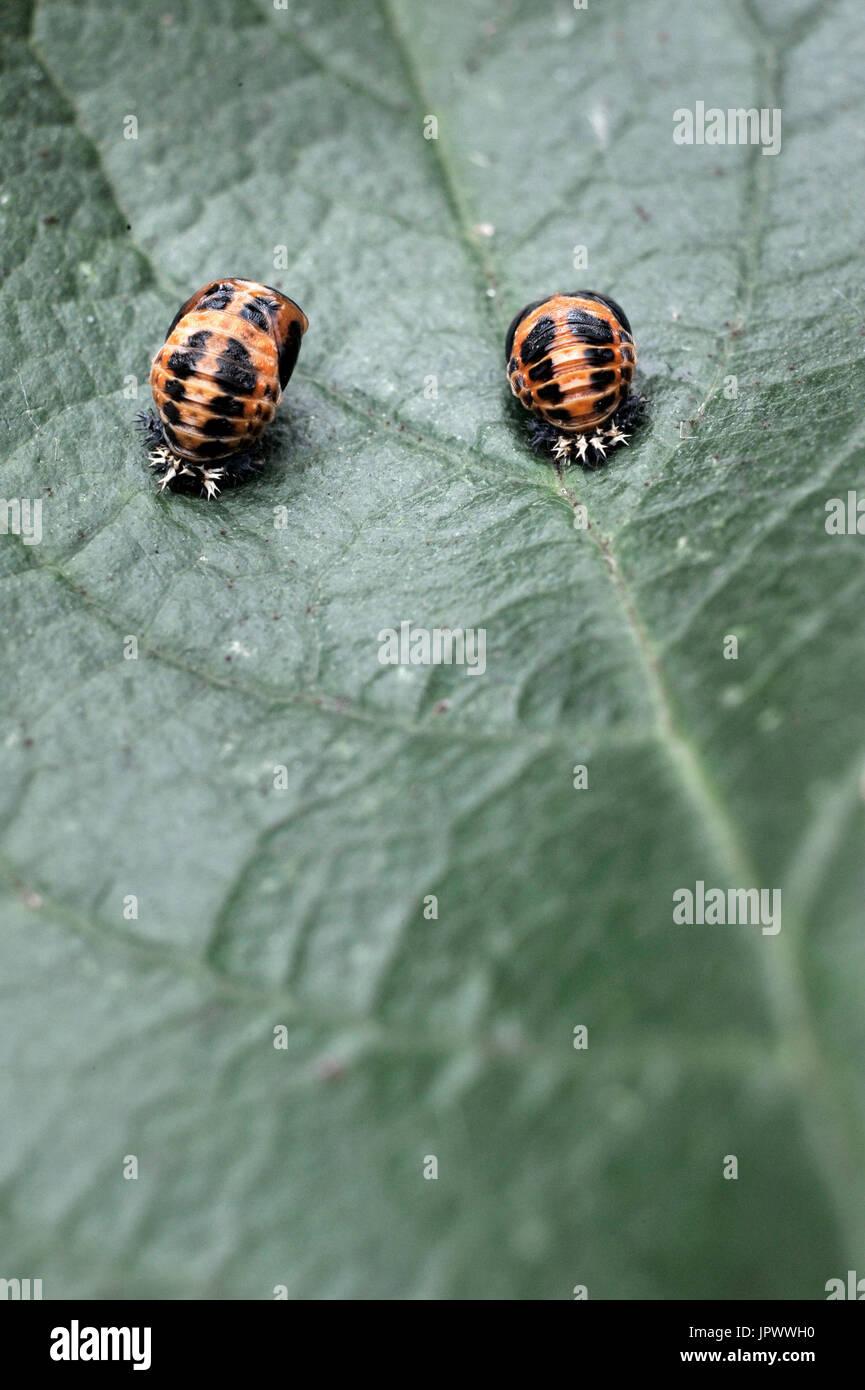 ladybird pupa (coccinella septempunctata) - Stock Image