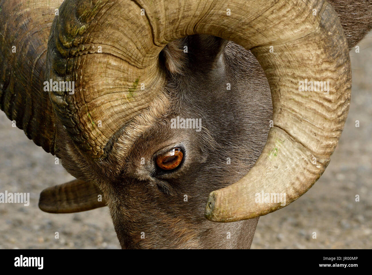 A close up side view of a wild bighorn sheep's face showing the eye and curl of his horn - Stock Image