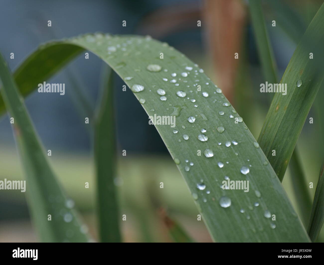 large green plant stem with water droplets on it - Stock Image