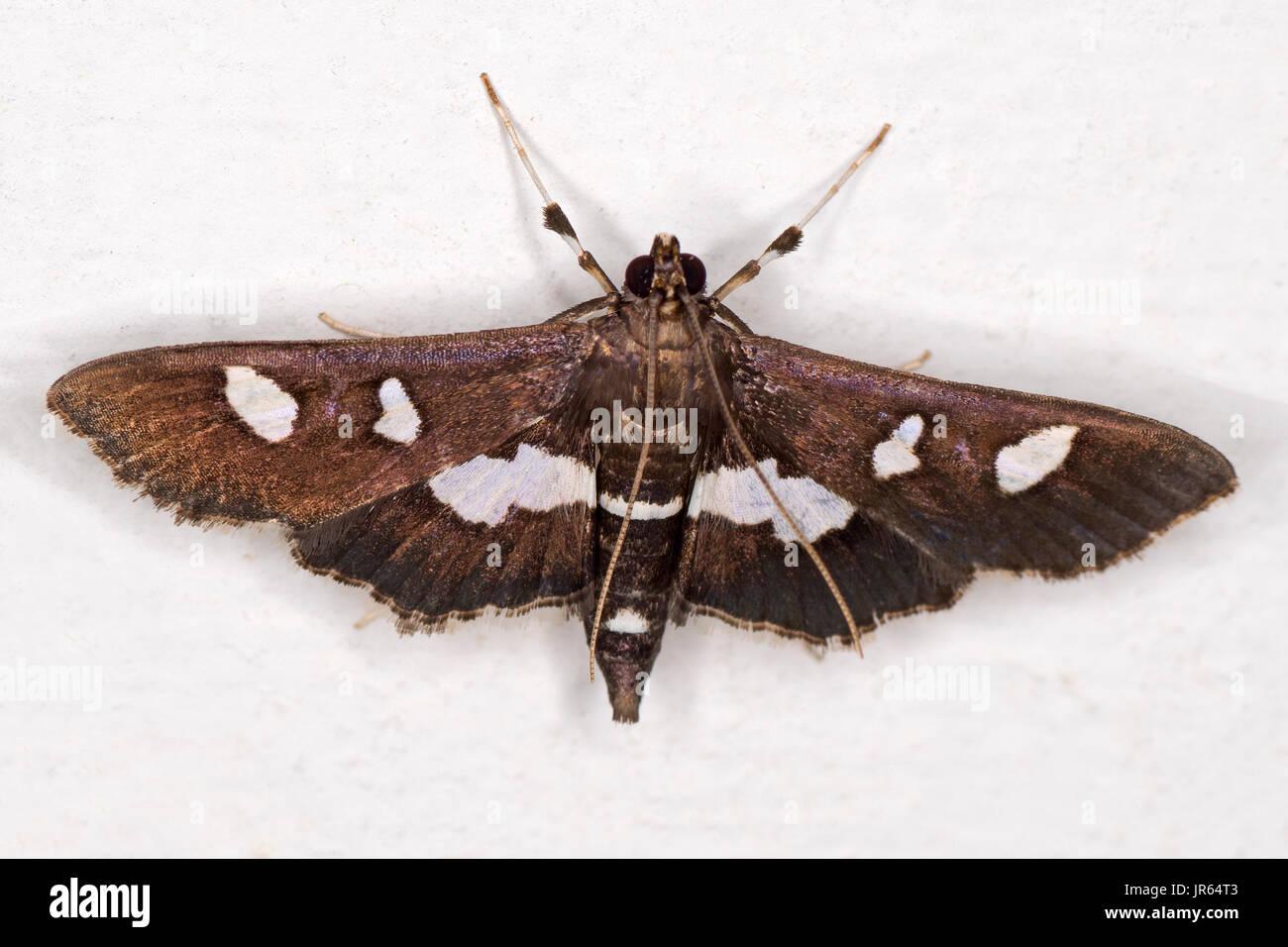 Grape Leafroller Moth - Stock Image