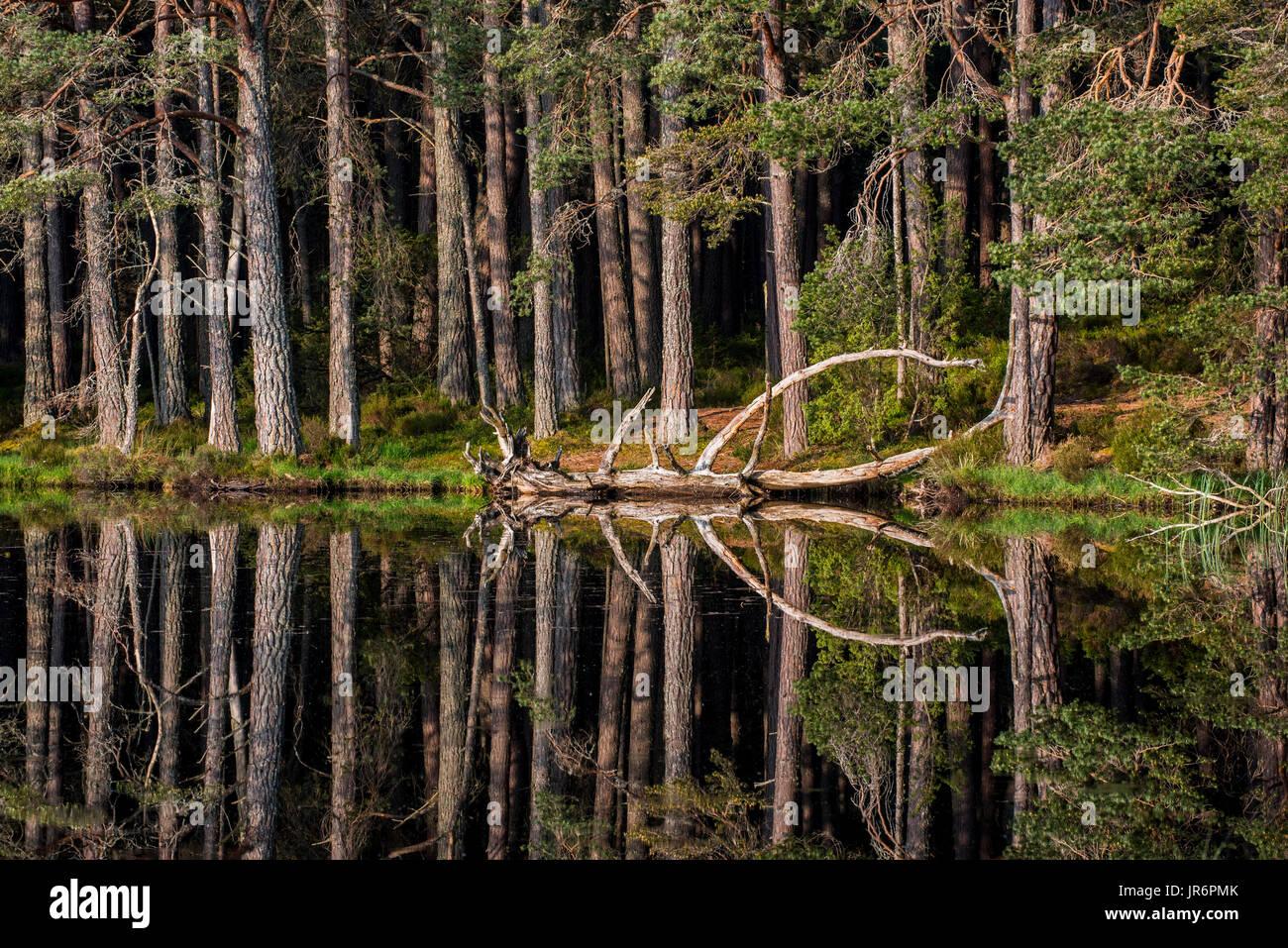 scots-pine-trees-on-the-shore-of-loch-garten-reflected-in-water-abernethy-JR6PMK.jpg