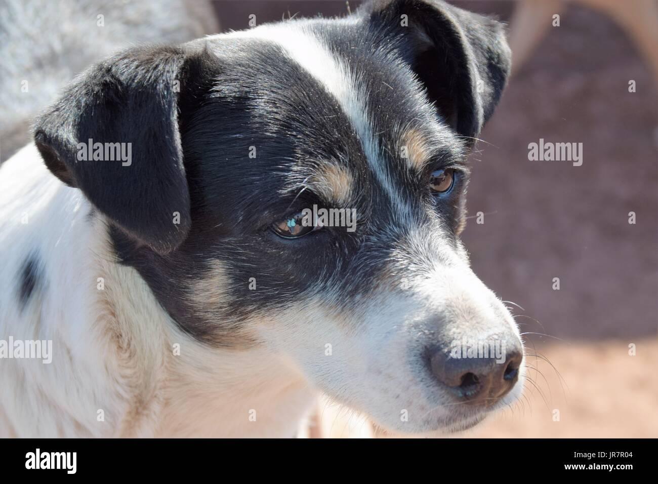 Beautiful shelter dog with soulful eyes in Cuzco, Peru - Stock Image