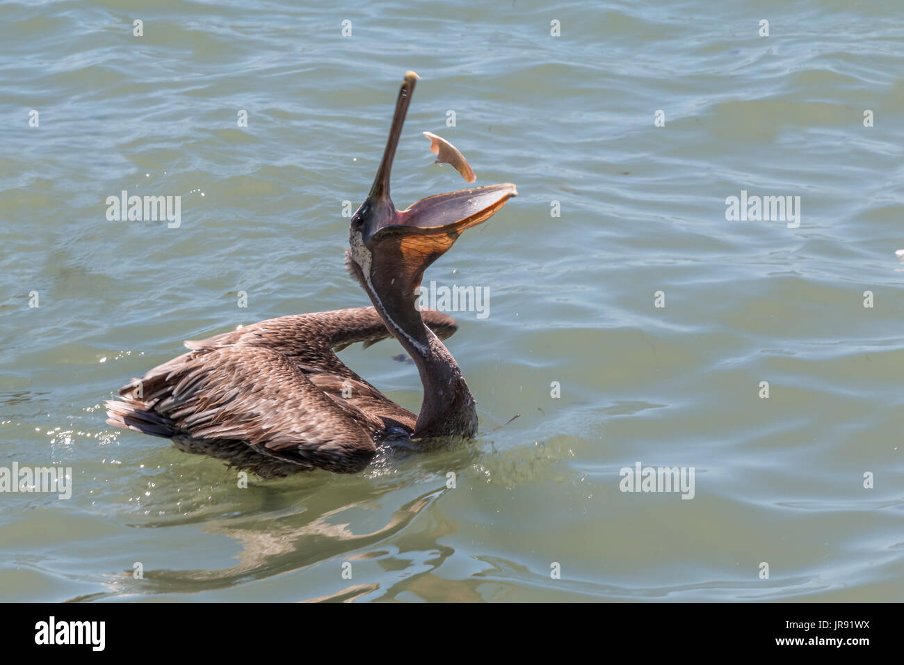 Brown pelican south padre island stock photos brown for Piece of fish