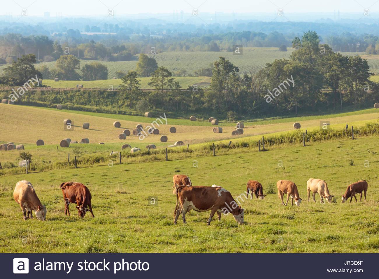 oak-ridges-moraine-cattle-cow-cows-farm-