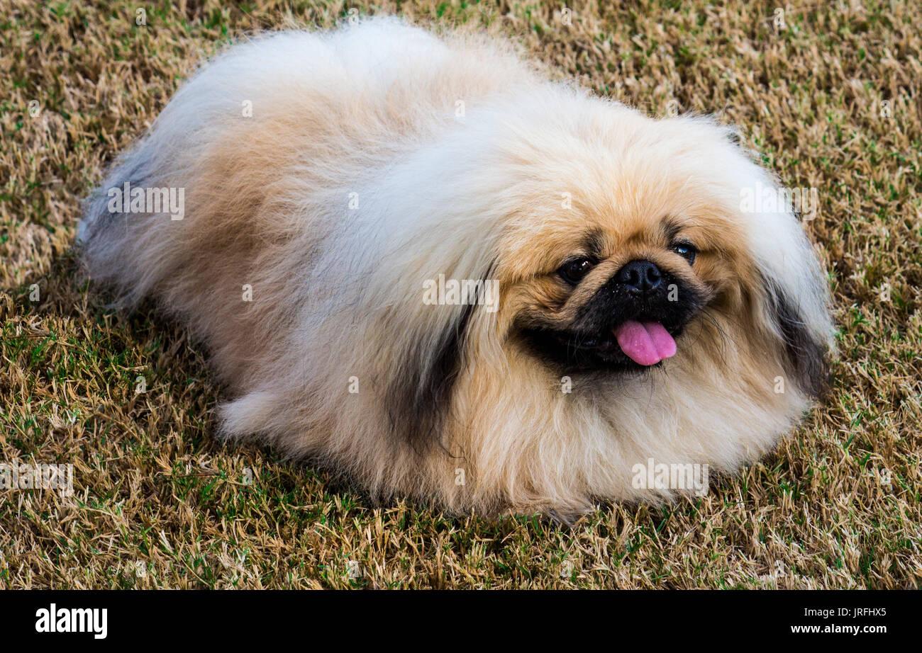 Funny Pekingese Dog Pictures