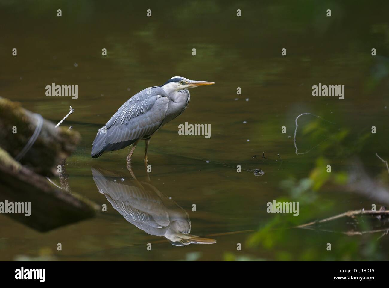 grey-heron-with-its-reflection-standing-