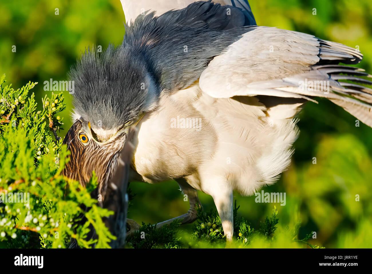 Black-crowned Night Heron Feeding Chick - Stock Image