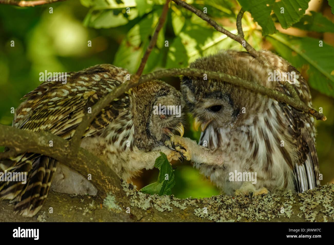 Owl Fledglings Stock Photos & Owl Fledglings Stock Images ...