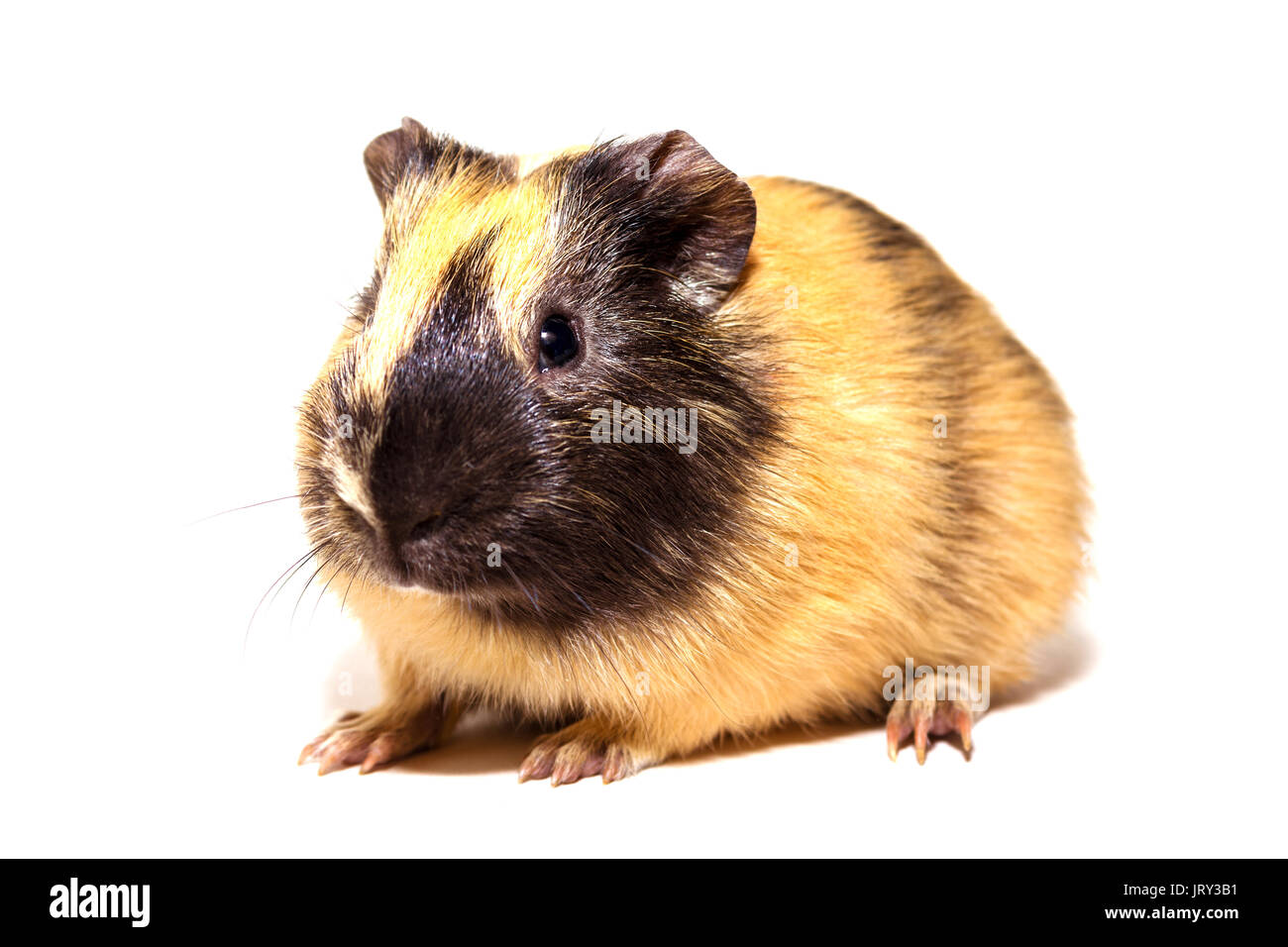 Fluffy cute rodent - guinea pig on neutral background - Stock Image