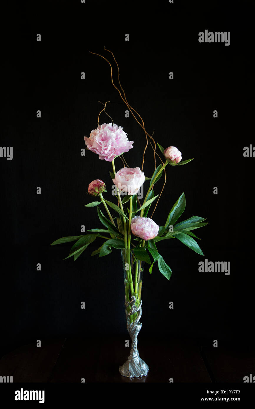 Peonies in an elegant arrangement within a pewter vase with a shell motif & a black  background - Stock Image