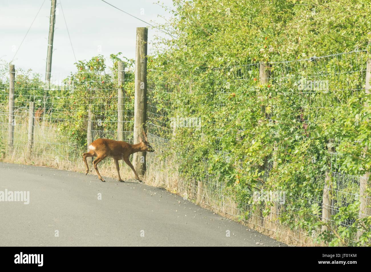 roe deer stuck on road behind deer fencing - Stock Image