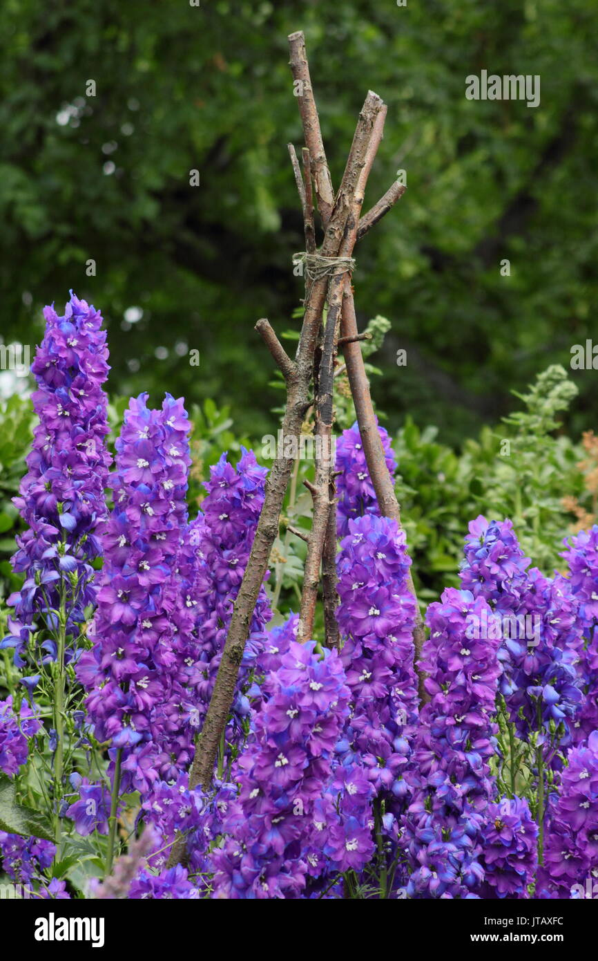 Larkspur (Delphinium elatum) supported by hand-made naturalistic wooden supports in the herbaceous border of an - Stock Image
