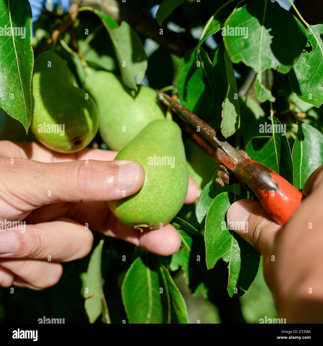 Young pear tree stock photos young pear tree stock images alamy - Spring trimming orchard trees healthy ...