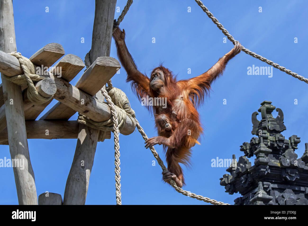 sumatran-orangutan-orang-utang-pongo-abelii-female-with-baby-clinging-JTD0JJ.jpg
