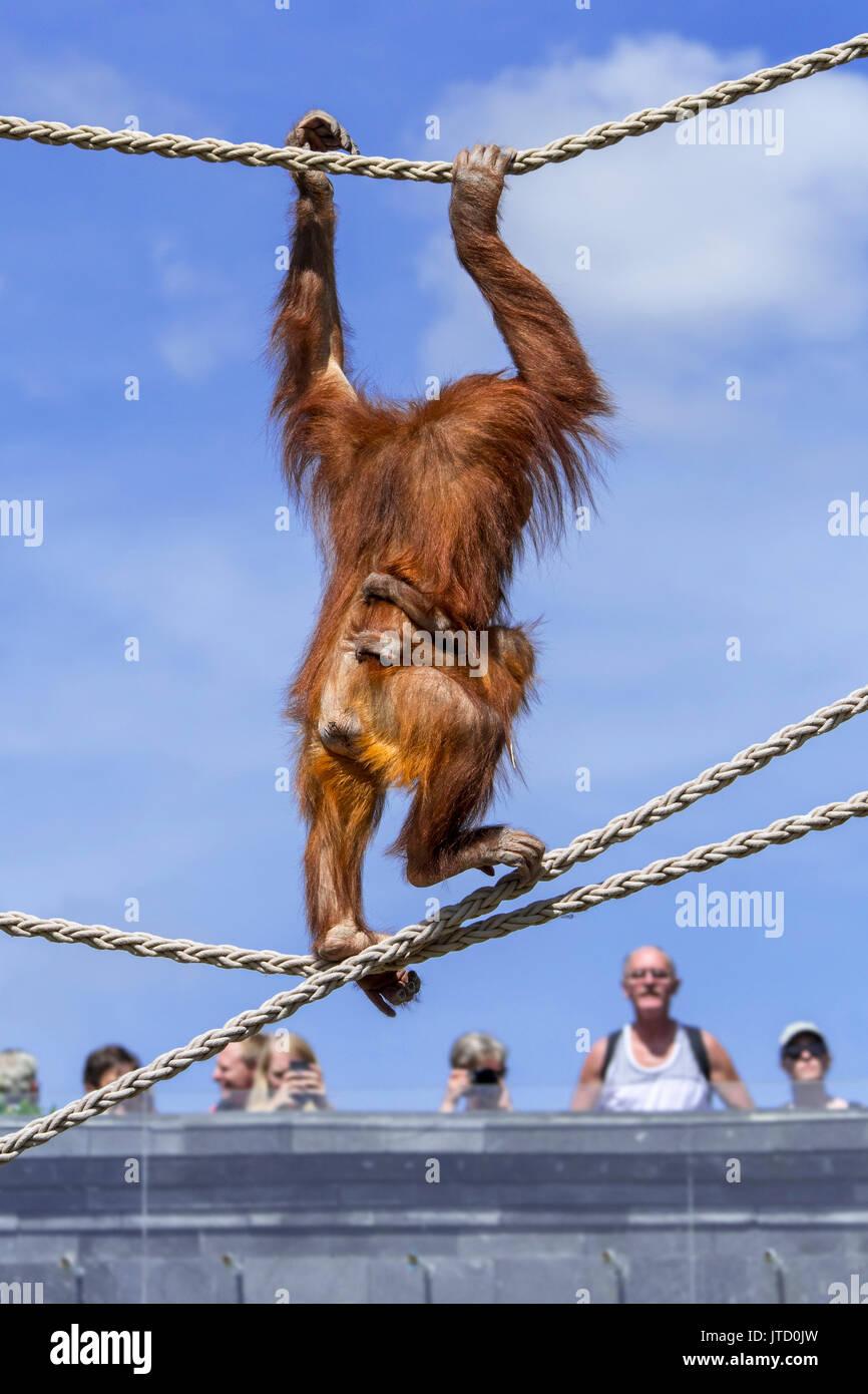 Sumatran orangutan / orang-utang (Pongo abelii) female with baby clinging on her belly traversing on ropes in zoo, Stock Photo