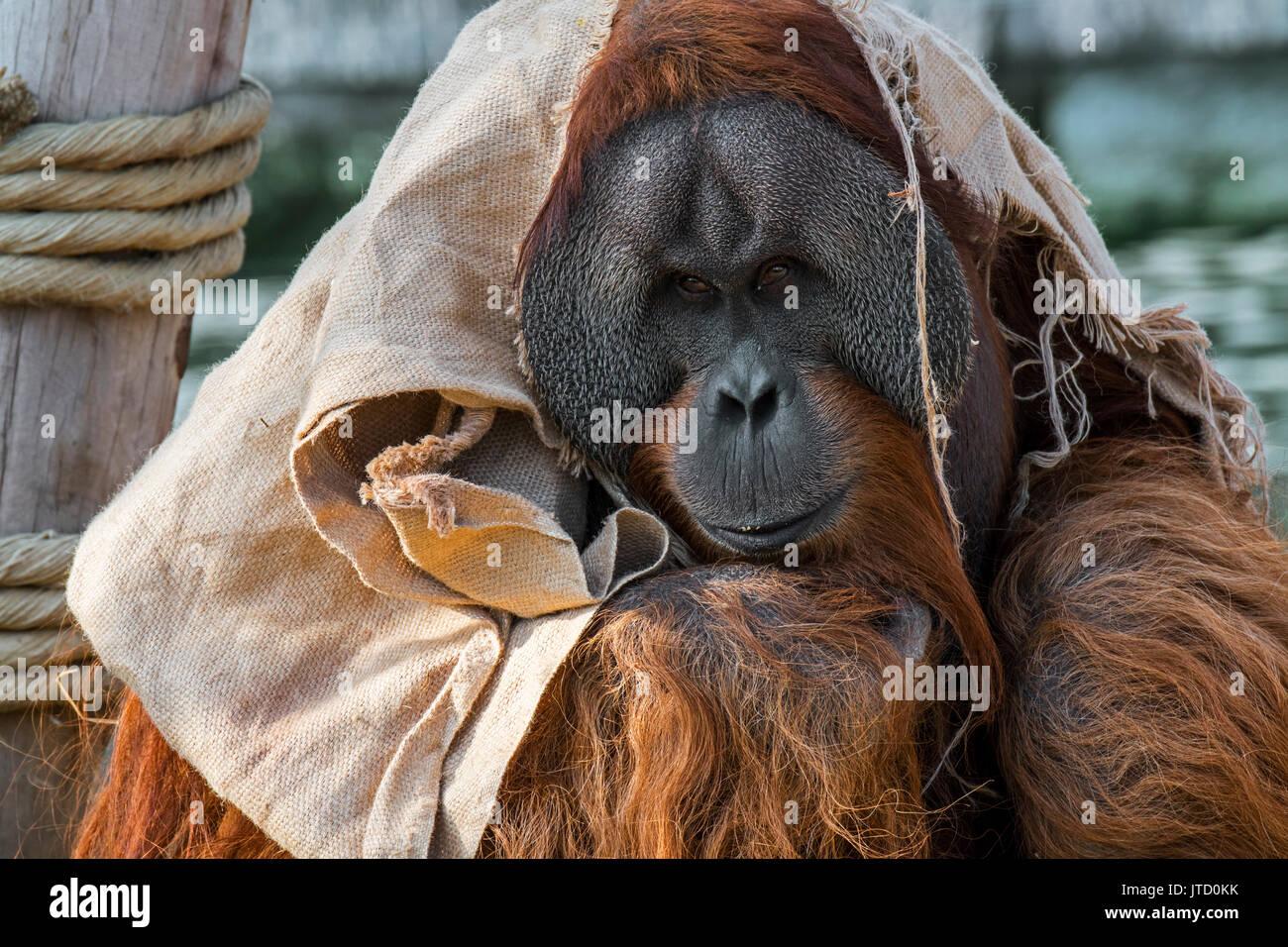 sumatran-orangutan-orang-utang-pongo-abelii-male-wrapped-in-cloth-JTD0KK.jpg