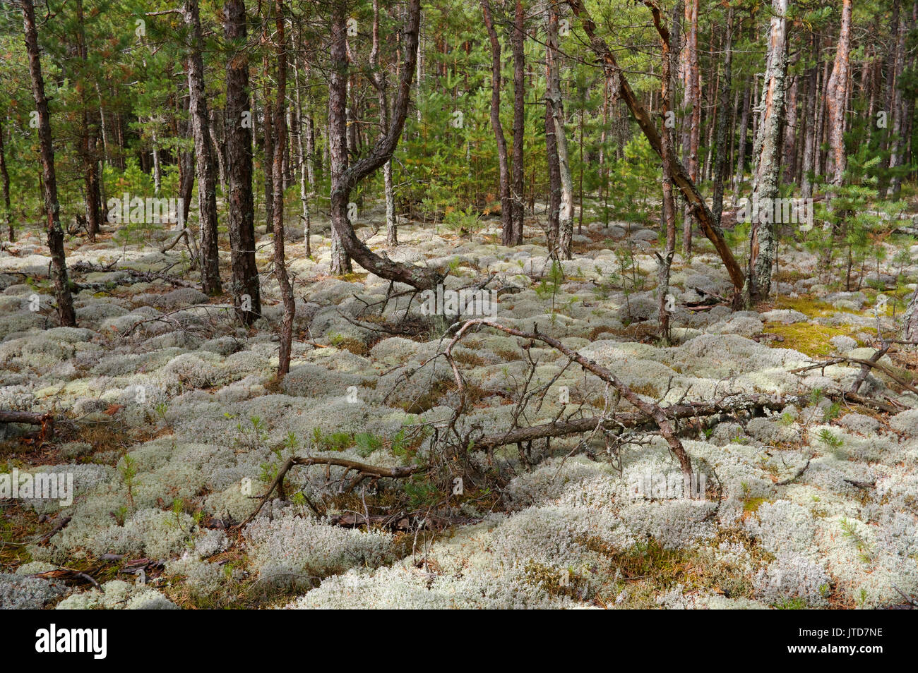Kihnu Island Pine Forest. Estonia. 5th August 2017 Stock Photo