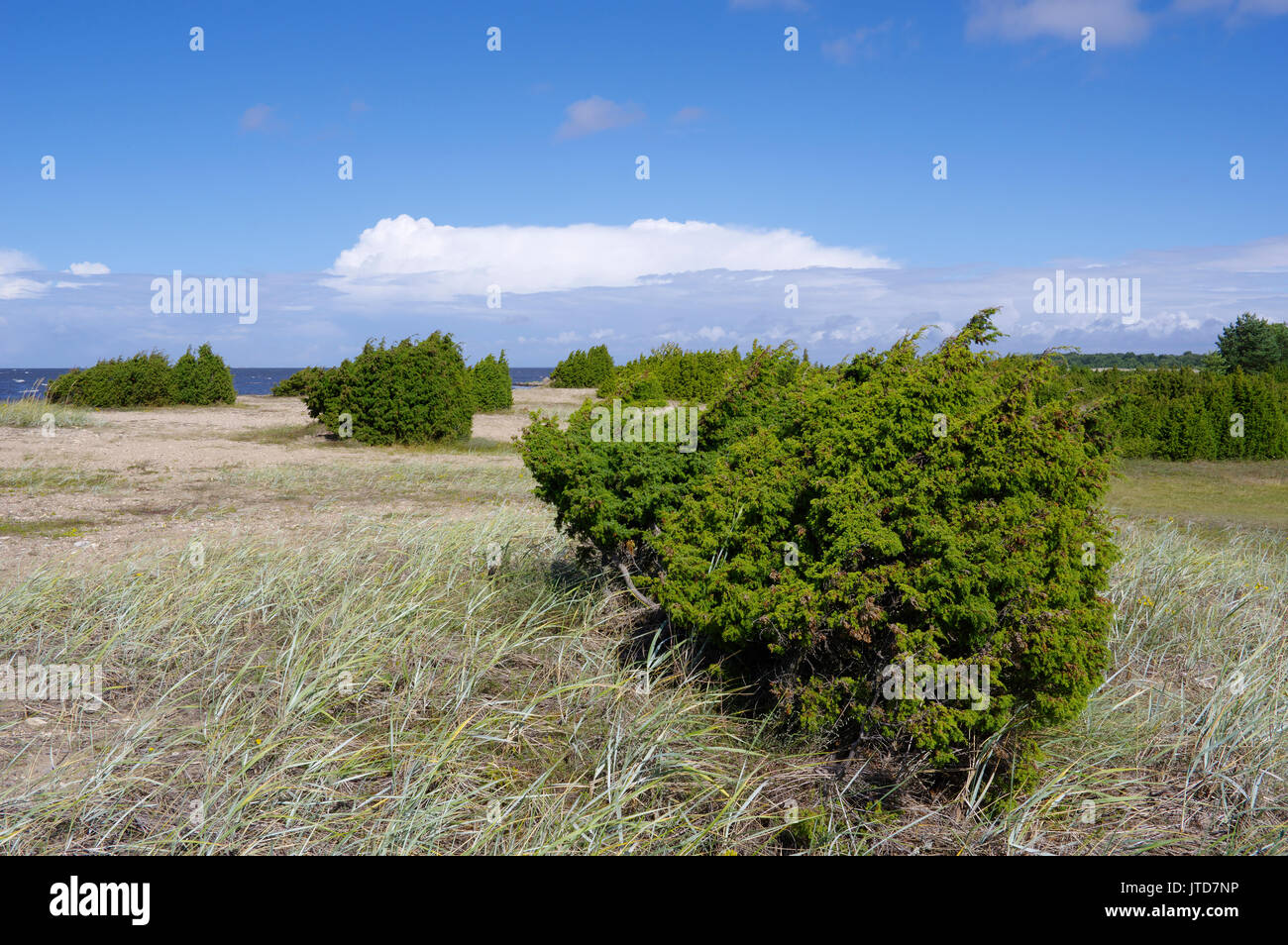 Kihnu junipers. Islland Kihnu. Estonia, Baltic States, 5th August 2017 - Stock Image