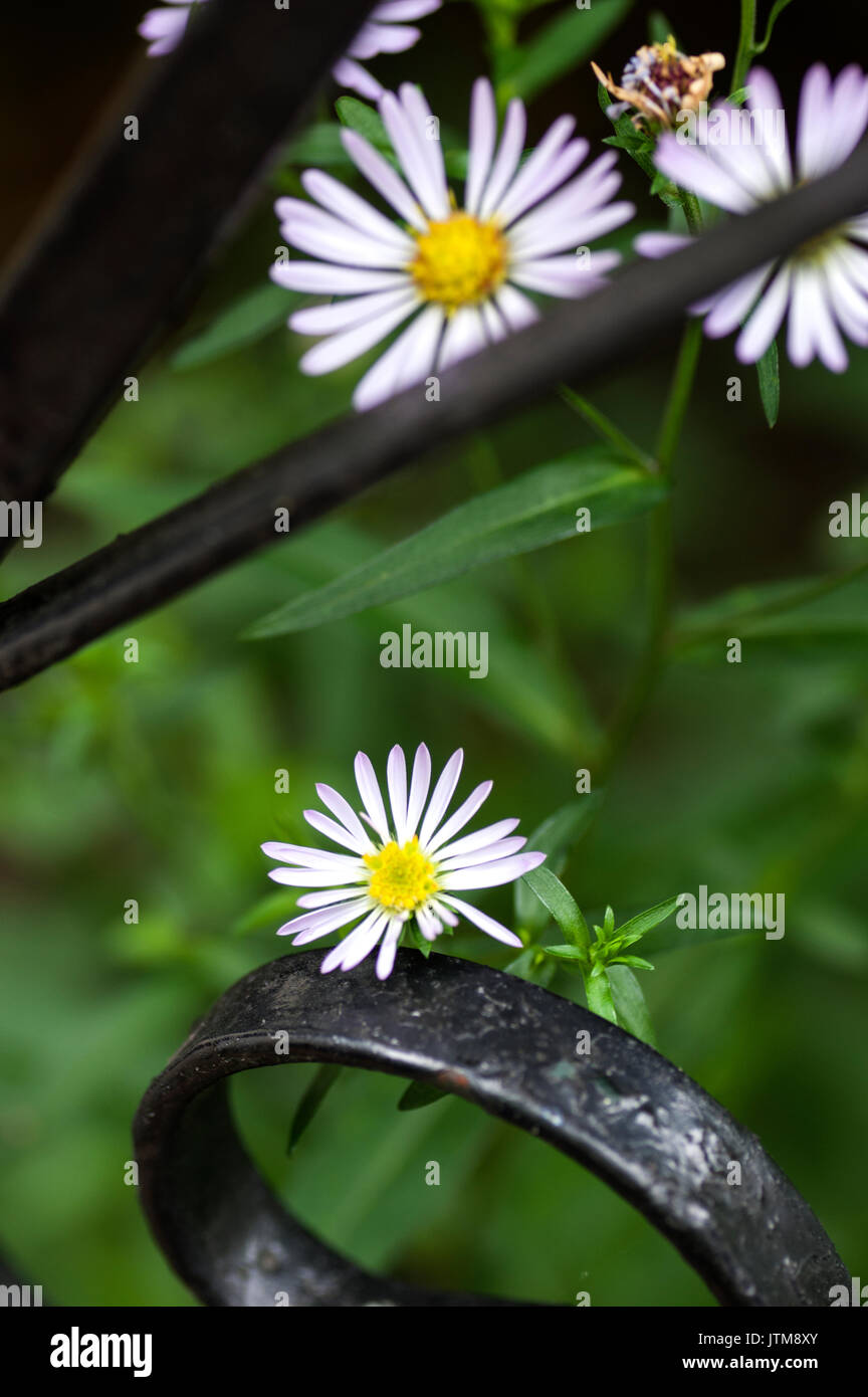 King George Michaelmas Daisy is an older variety of perennial aster, and one of the best with its prolific, early, - Stock Image