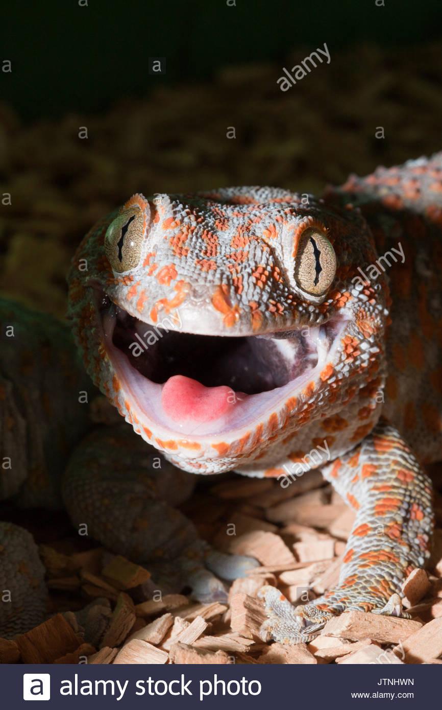 Tokay Gecko, Gekko gecko, West Papua, Misool, Indonesia - Stock Image