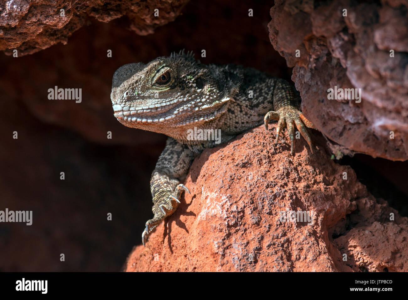 australian-water-dragon-intellagama-lesueurii-physignathus-lesueurii-JTPBCD.jpg
