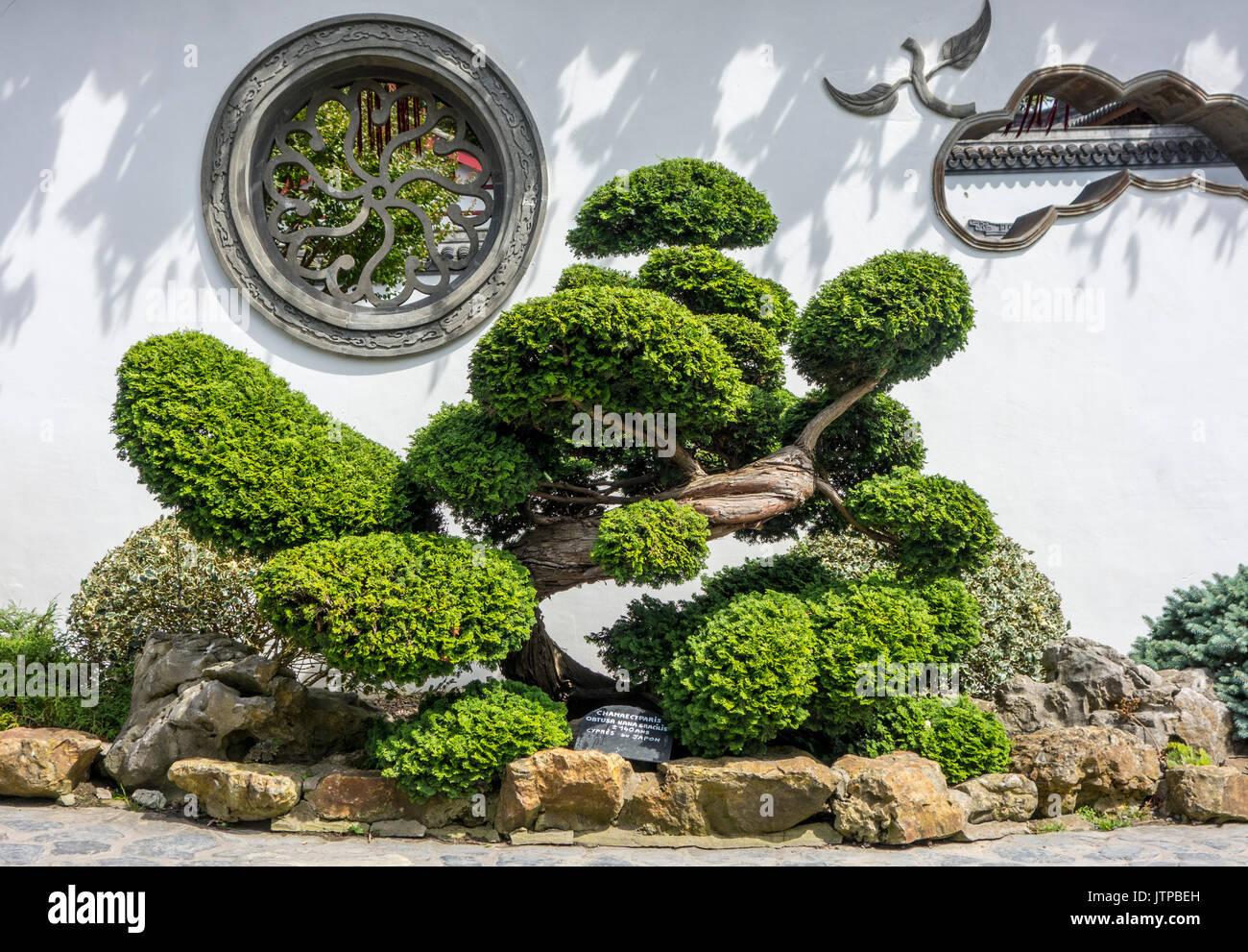 140-year-old-hinoki-cypress-hinoki-false-cypress-dwarf-hinoki-cypress-JTPBEH.jpg