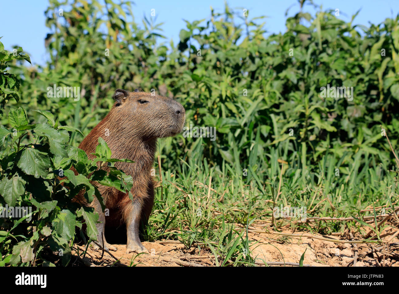 Capybara Sitting on the River Bank. Pantanal, Brazil - Stock Image
