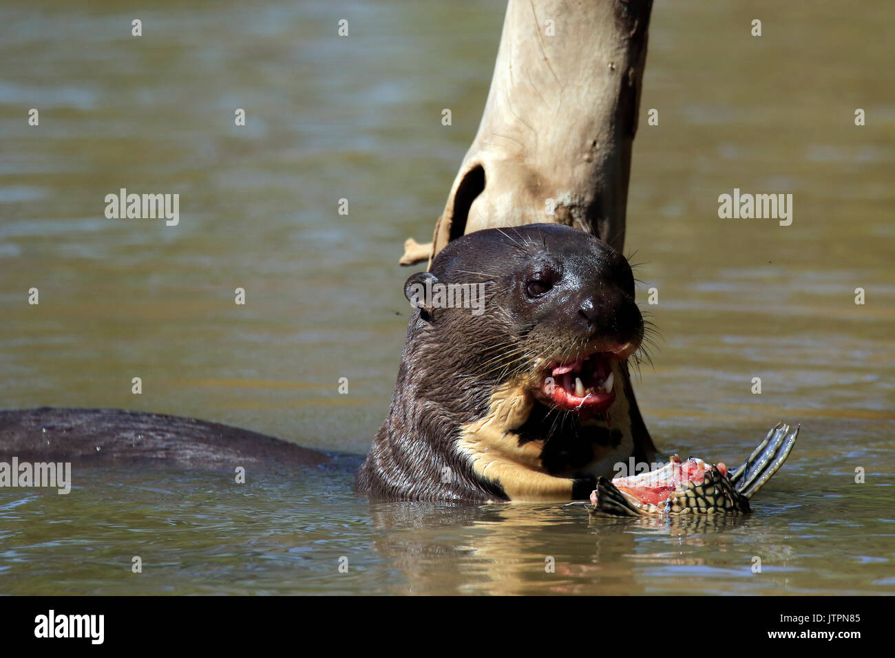 Giant Otter Feeding in the River. Pantanal, Brazil - Stock Image