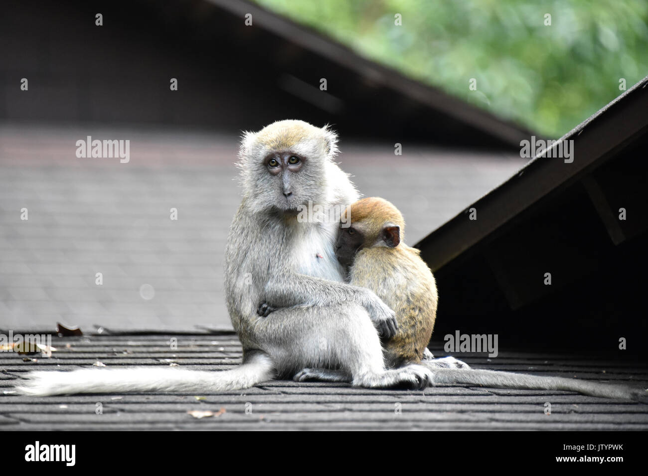 Macaque - Monkey Business - Stock Image