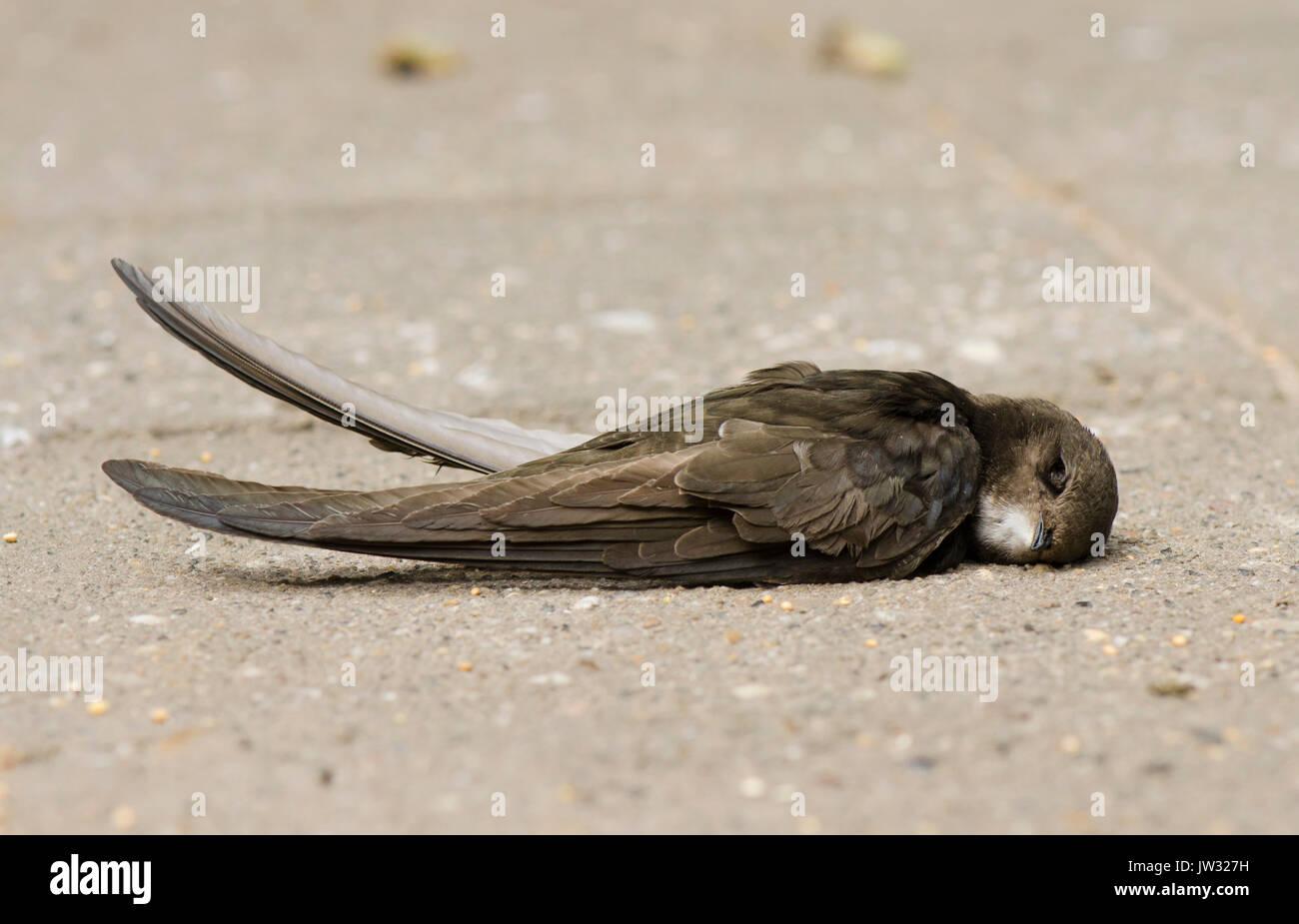dead-bird-juvenile-common-swift-apus-apu