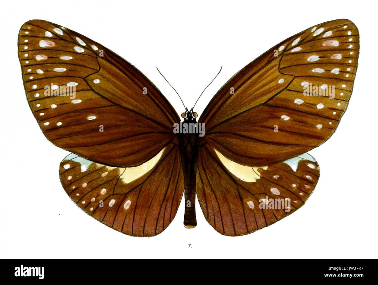 EuploeaPhoebus 38 1 - Stock Image