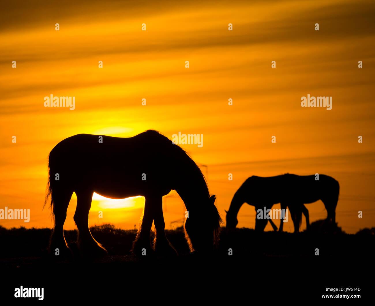 Billingham, north east England, UK. 11th Aug, 2017. UK weather: Horses near Billingham grazing under a glorious - Stock Image